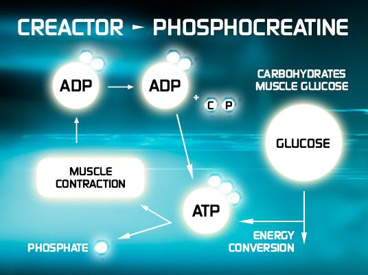 Creactor yields Phosphocreatine